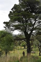 Ξέφωτο - glade (Parnitha mount)) (st.delis) Tags: ξέφωτο πεύκο δέντρα άνθρωποσ πάρνηθα αττική ελλάδα glade pine trees man parnitha attica hellas