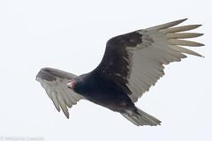 Vulture (Melanie Leeson) Tags: turkey vulture vultures raptor wildraptor melanieleesonwildlifephotography blingsister canon canon7dmarkii canonef100400mmf4556lisiiusm14xiii gulf islands