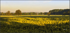Yellow Morning. (Picture post.) Tags: landscape nature green oilseed trees sunrise morning arable fields rapeseed bluesky shadows wideangle paysage arbre