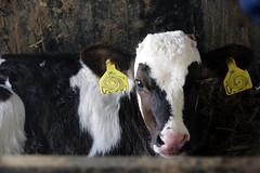 pawu025 (Otwarte Klatki) Tags: krowa krowy mleko zwierzęta cielak ferma andrzej skowron