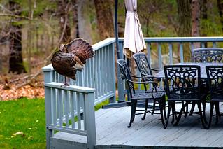 Wild Turkey Pruning on the Neighbor's Deck