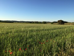 Champ avec coquelicots (karine_avec_1_k) Tags: printemps spring quiet countryside tranquille campagne green very
