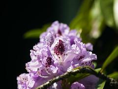 Blumen Makro (Maxi Sch.) Tags: blumen makro garten lumix g6