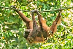 BOR_9440 (lucvanderbiest) Tags: orangoetang borneo maleisië sabah sepilok orangoetangrehabilitationcenter
