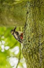 Great spotted woodpecker - female / Dendrocopos major (I'll catch up with you later, your comments and cr) Tags: nenecountrypark nikkor200500mmf56eafsed nikond610fx wildlifephotography birdphotography greatspottedwoodpecker rertug