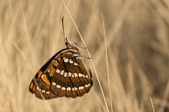 Joker Butterfly Wings Closed (Barbara Evans 7) Tags: joker butterfly wings closed ethiopia barbara evans7