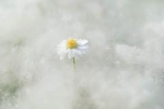 Miss Daisy  dans le coton (christophe.laigle) Tags: soft xf60mm nature flower daisy pâquerette végétal softness fleur macro peuplier neige white doux fuji douceur blanc christophelaigle xpro2 cotonneux vegetal ngc