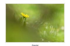 _IGP1814 copie (Francinen89) Tags: fleurs flowers jaune yellow green vert nature macro garden jardin