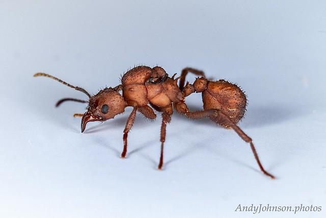 Acromyrmex octospinosus Queen