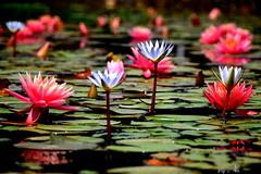(Roi.C) Tags: lily waterlily flowers season water reflection outdoor nature spain nikkor nikond5300 nikon simplysuperb