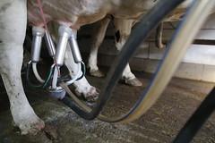 pawu045 (Otwarte Klatki) Tags: krowa krowy mleko zwierzęta cielak ferma andrzej skowron