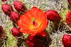 Mojave Mound Cactus - Mojave National Preserve (simbajak) Tags: wildflower flower cactus california mojave national preserve orangered desert explored mound kingcup claret