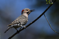 Pic flamboyant ♂ Northern flicker (Sylvain Prince) Tags: colaptesauratus