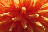 Dahlia in San Francisco's Golden Gate Park 170621-132930 C4 (Wambeke & Wambeke Photography, Art, & Textiles) Tags: dahlia flower closeup flowercloseup orange orangeflower variegatedcolors flowercolors charliewambekephotography charliesphotoart charliewambekephoto charliewambekephotograph charliesphotoartcom canonpowershotsx50photograph canonsx50photograph canonsx50photo wambekewambekephotographyarttextiles wambekewambeke wambekeandwambekephoto wambekeandwambekephotography wambekewambekephotographyquiltingspecialists flowerofsanfrancisco earlyafternoonlight