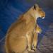 Lionness and cub @Polentswa, Kgalagadi Transfrontier Park, Botswana