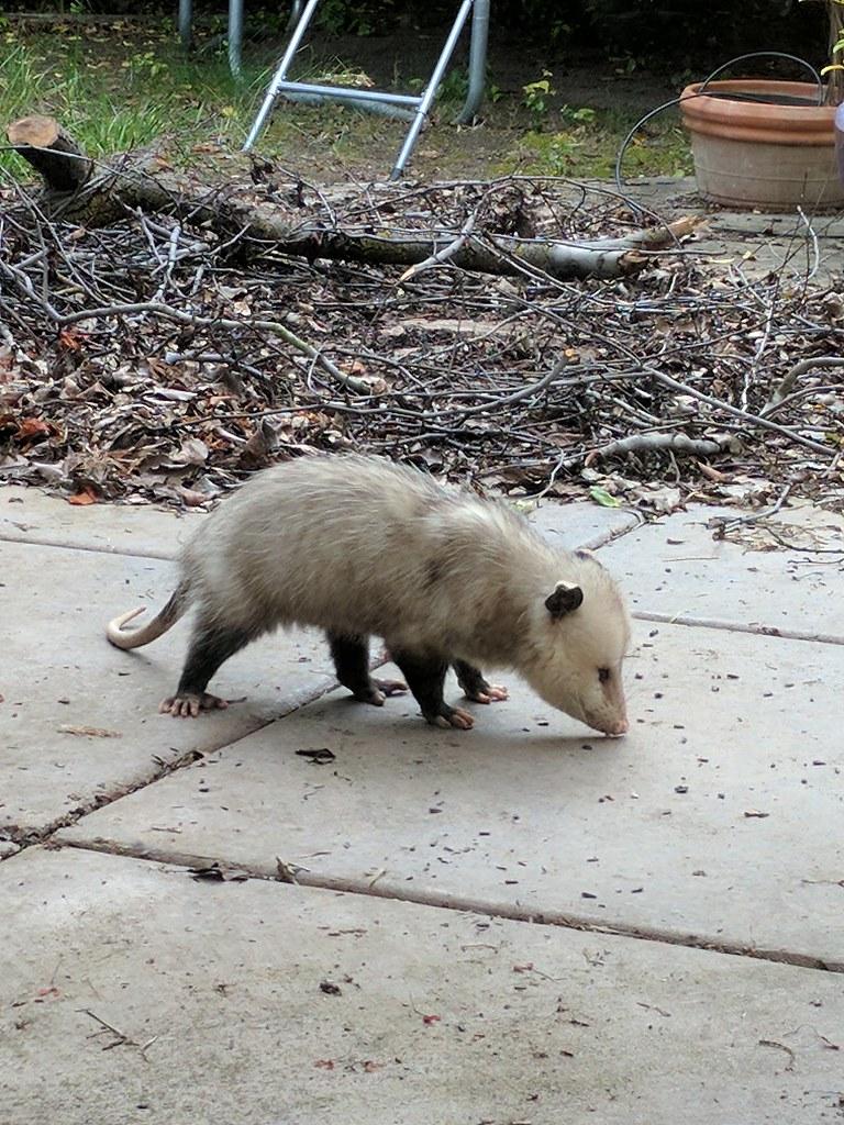 Opossum Kansas The World's Best Photo...
