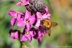 bezig-bijtje (Don Pedro de Carrion de los Condes !) Tags: donpedro d700 natuur makro macro bij bloem hing werken voorjaar nabij angel bagage bestuiven bestuiving bijen bijenkorf bijenvleugels bijenvol k lanschap bijenwas bloesememotie fragiel doorschijnend eten honing honingraad imker insekt insekten meeldraad milieu nectar stamper steken stuifmeel tuin voedsel zoeken zoet zomer kleurrijk bijensterfte