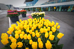 Tulips  Lookout (NL) (Marcelo Campi Amateur photographer) Tags: tulips amsterdam lookout street urban exploration rain gray colors yellow spring holland