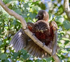 New Zealand Kaka, also known as kākā, (Nestor meridionalis) (mosesharold) Tags: wellington nz22apr17122439265dmarkiv1 zealandia newzealand karoriwildlifesanctuary