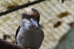 Kookaburra (scv1_2001) Tags: nikon nikon70200mmvrii nikond750 taipeizoo bird animal 台北市立動物園