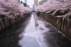 Cherry petals fallen on the river IV (kazs2307) Tags: cherry cherryblossoms spring pink river サクラ 春 ピンク 目黒川 花 川 花筏