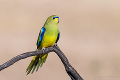 Elegant Parrot (chrissteeles) Tags: elegantparrot elegant parrot pengilly roseworthy southaustralia sa