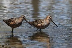 Long Billed Dowitchers (fethers1) Tags: belmarpark kountzelake coloradowildlife birds shorebirds