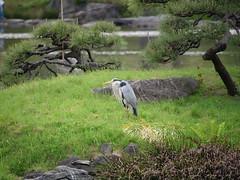 P1004225 (digitalbear) Tags: panasonic lumix gh5 sumida river kiyosumi garden eidai bridge tokyo japan sharehotel lyuro skytree fukagawameshi miyako yakatabune