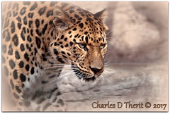 Amur Leopard (ctofcsco) Tags: 1div canon colorado explore northamerica usa mammalia classmammalia ordercarnivora familyfelidae genuspanthera speciespardus subspeciesorientalis ef200mmf2lisusm14x ef200mmf2lisusm 14x extender teleconverter ef14x ef14xii supertelephoto telephoto cat leopard amur yellow black 1500s iso160 f32 280mm 200mm 1d mark4 markiv eos eos1dmarkiv denver co zoo bigcat animal