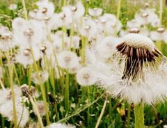More dandelions (Zandgaby) Tags: dandelion flower dandelions white green macro closeup