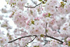 Prunus lannesiana 'Hisakura' (Masaoki Hirai) Tags: prunus cerasus rosaceae cherryblossoms makroplanart2100zf