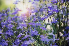 Tenerezza (Irene TP) Tags: flowers fiorellini light tenderness dreamy warmlight blue nikon nikond7100