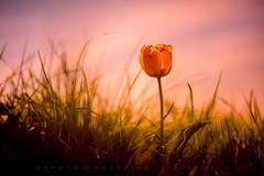 Optimist (matthiasstiefel) Tags: sun flower tulip warmer germany bavaria spring