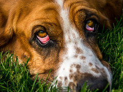 Friendly Eyes (phil1496) Tags: basset hound macromondays eyes tao yeux fabuleuse