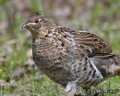 Ruffed Grouse (Ed McAskill) Tags: ruffed grouse edmcaskill ontario birds birdshare