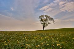 The Dandelion Meadow and the Lonely Tree - Die Löwenzahnwiese und der einsame Baum (W_von_S) Tags: dandelion wiese field löwenzahn bavaria bayern baum tree lonely einsam landschaft landscape frühling spring himmel sky blumen blossoms wvons werner sony outdoor mai may 2017 natur nature
