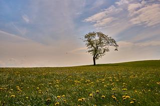 The Dandelion Meadow and the Lonely Tree - Die Löwenzahnwiese und der einsame Baum