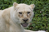 tongue roll (ucumari photography) Tags: ucumariphotography cincinnati ohio zoo april 2017 whitelion lioness animal mammal pantheroleo tongue dsc1772 specanimal