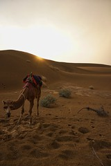 Camel Sunset (Jonas Bieber) Tags: natur animal a6000 sony travel pakistan jaisalmer india desert sunset camel