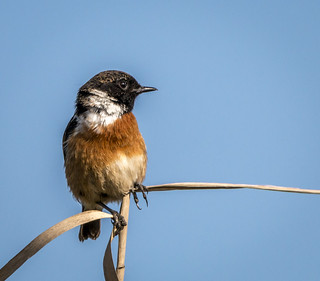 Stonechat (Explored 13-5-17 #459)