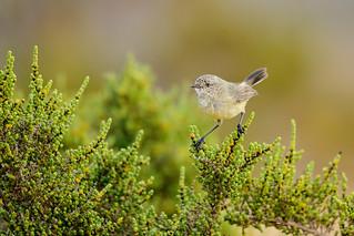 Slender-billed Thornbill
