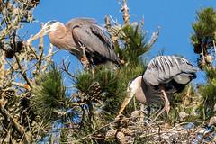 Time to Tend the Nest (MelRoseJ) Tags: sanfrancisco california unitedstates sonyalpha sal70400g sony sonyilca77m2 a77ii alpha autofocus nature northerncalifornia greatblueheron goldengatepark