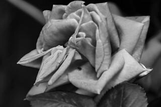 La rosa y la invitada