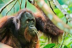 BOR_9077 (lucvanderbiest) Tags: orangoetang borneo maleisië sabah sepilok rainforestdiscoverycenter