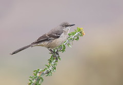 Northern Mockingbird Lost dutchman park az (mandokid1) Tags: canon canon500f4 1dx birds arizona