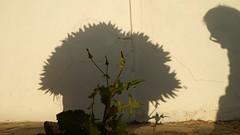 Dandelion Self Defense (offroadsound) Tags: selfdefense dandelion shadows lanzarote