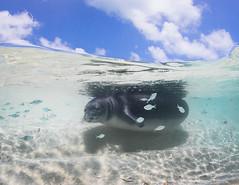 Monk Seal pup (Papahānaumokuākea Marine National Monument) Tags: northwesternhawaiianislands papahänaumokuäkea papahanaumokuakea marinenationalmonument worldheritagesite koamatsuoka monkseal pup ilioholokauaua monachusschauinslandi