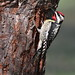 Pic maculé male /  yellow-bellied sapsucker male