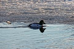 Telkkä / Goldeneye (Tuomo Lindfors) Tags: iisalmi suomi finland dxo filmpack myiisalmi lintu bird telkkä goldeneye jää ice vesi water porovesi järvi lake