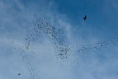 BOR_0613 (lucvanderbiest) Tags: bats hoefijzerneuzenvleermuis bathawk vleermuiswouw borneo maleisië sabah gomantongcaves